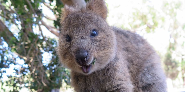 A quokka with a winning smil. Photo: Sylke Rohriach, flickr