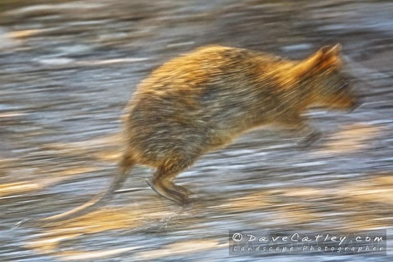 Speedy Quokka-Rottnest Island-Perth-_MG_1248--Popup